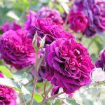 Cách chăm sóc hoa hồng leo để cây ra nhiều hoa