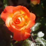 Cắt tỉa hoa hồng leo ban công như thế nào?