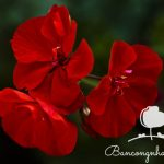 Hiểu thêm về hoa phong lữ thảo