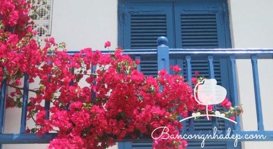 trồng hoa giấy ở ban công chung cư