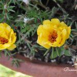 Các loại cây hoa dễ trồng trên ban công P1