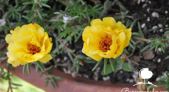 các loại cây hoa dễ trồng trên ban công