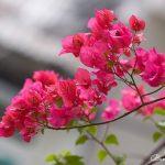 Các loại hoa dễ trồng sống lâu ở ban công chung cư