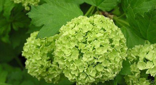 cách trồng hoa cẩm tú cầu
