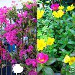 Các loại hoa dễ trồng ở ban công chung cư đẹp quanh năm