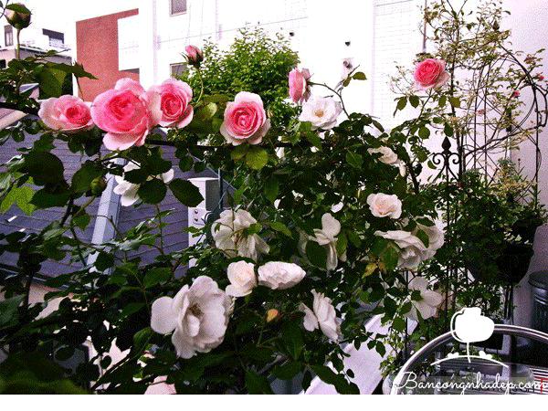 hoa hồng phù hợp cho những ban công hướng nắng