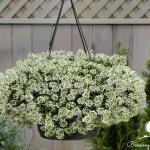 Các loại hoa nở quanh năm, dễ trồng ở ban công