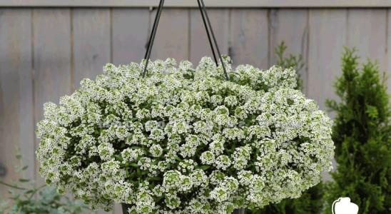 hoa bông tuyết dễ trồng ở ban công