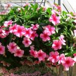 Hoa dừa cạn, nhiều nhà thích mọi nhà yêu.