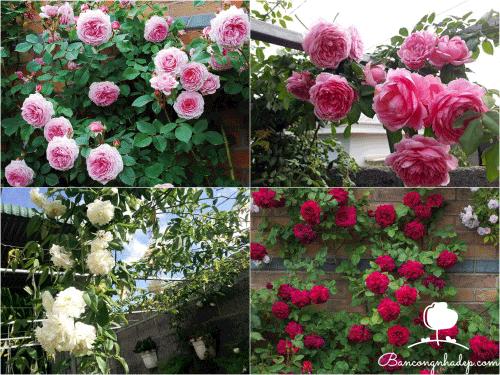 cây dây leo chống nắng mùa hè hoa hồng