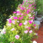 Hoa mười giờ loài hoa cho ban công nhà bạn