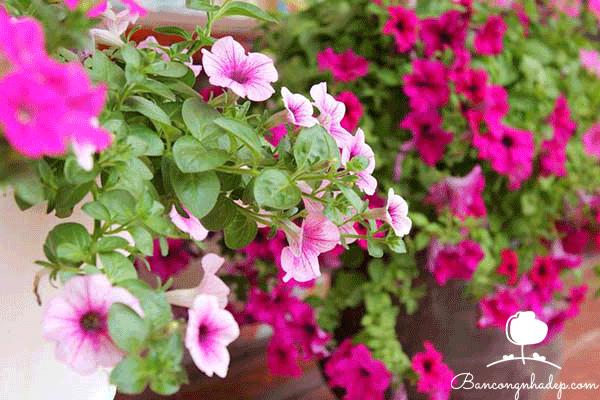 Những giỏ hoa đẹp treo ban công thu hút mọi ánh nhìn