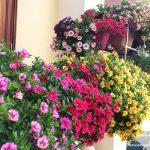 Các loài hoa tô điểm cho ban công nhà bạn.