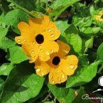 Hoa Mắt huyền loài hoa ban công mọi nhà ưa chuộng.