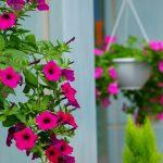 Các loài hoa làm cho ban công nhà bạn nổi bật.