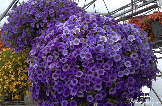giỏ hoa triệu chuông