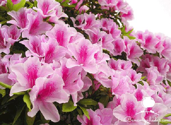 những loại cây phong thủy nên chọn trồng ở ban công