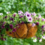 Hoa Dạ yến thảo đẹp cho mọi không gian.