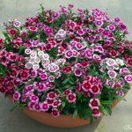 Hoa Cẩm chướng hoa đẹp cho ban công nhà bạn.