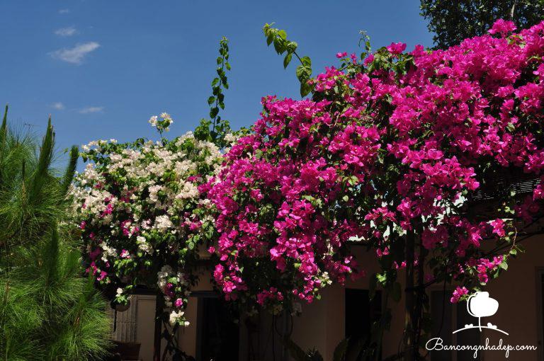 hoa giấy chống nắng mùa hè