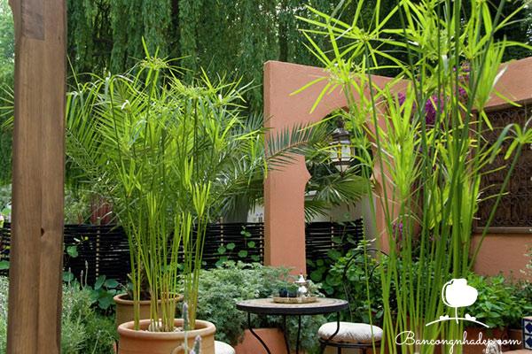 cây trúc nên trồng ở ban công để mang lại tài lộc