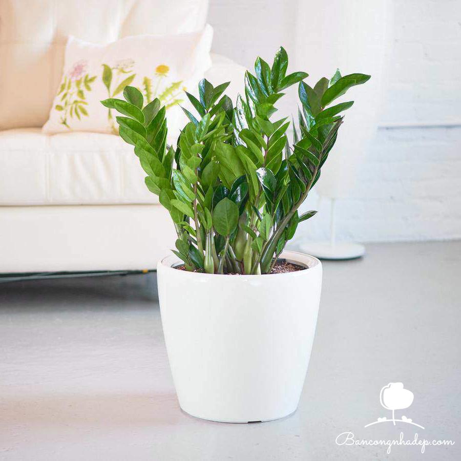 cây kim tiền loại cây nên trồng ở ban công