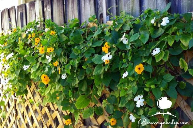hoa mắt huyền trồng hàng rào