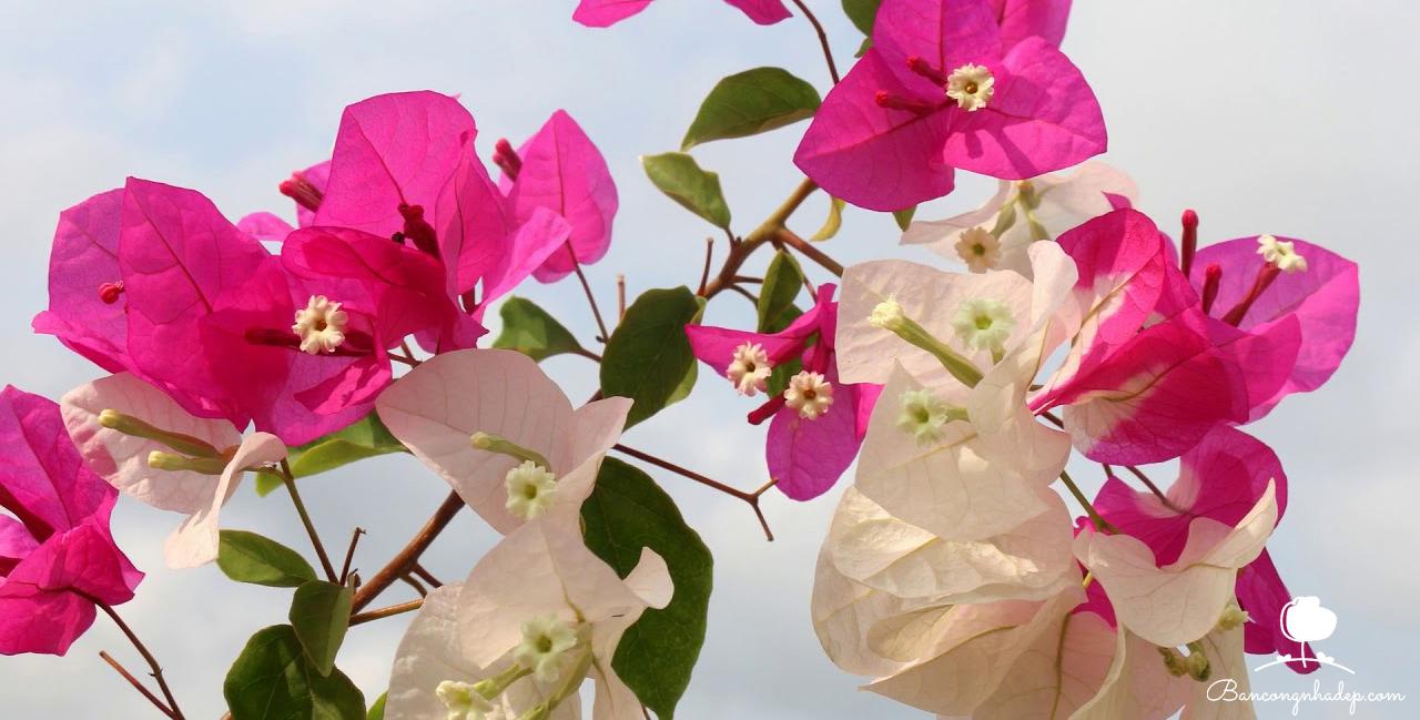 cây dây leo chống nắng mùa hè hoa giấy