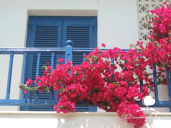 hoa giấy nở rất nhiều hoa khi đón được nhiều ánh nắng