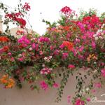 Các loại hoa leo đẹp và dễ trồng.
