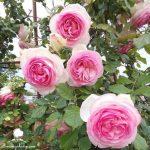 Các loại hoa có hương thơm đặc biệt thường được trồng ở ban công
