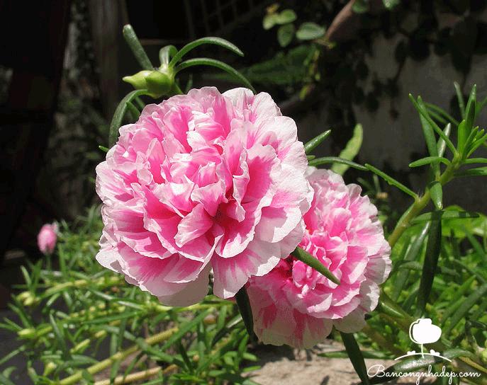 hoa mười giờ dễ trồng trên ban công