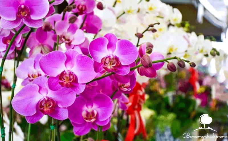 Các loại lan dễ trồng ở ban công