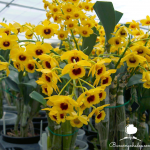 Các loại lan dễ trồng ở ban công.