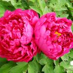 Hoa Mẫu đơn sự thịnh vượng phồn vinh cho ngôi nhà của bạn.