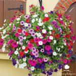 Các loài hoa dễ trồng và sống lâu phù hợp với mọi ban công