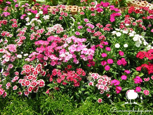 hoa cẩm chướng nhỏ nhắn
