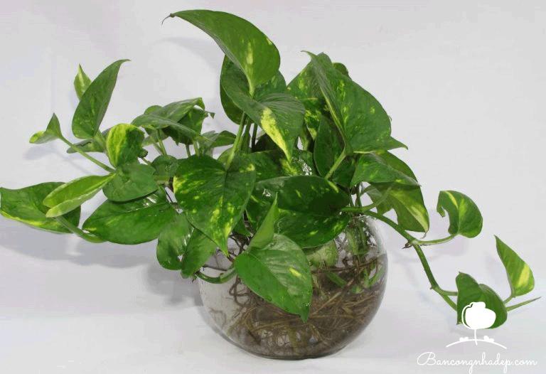 cây vạn niên thanh trồng trong nhà