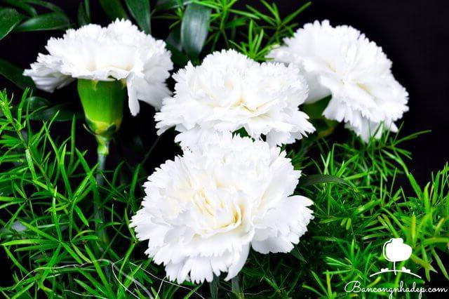 hoa cẩm chướng nhỏ