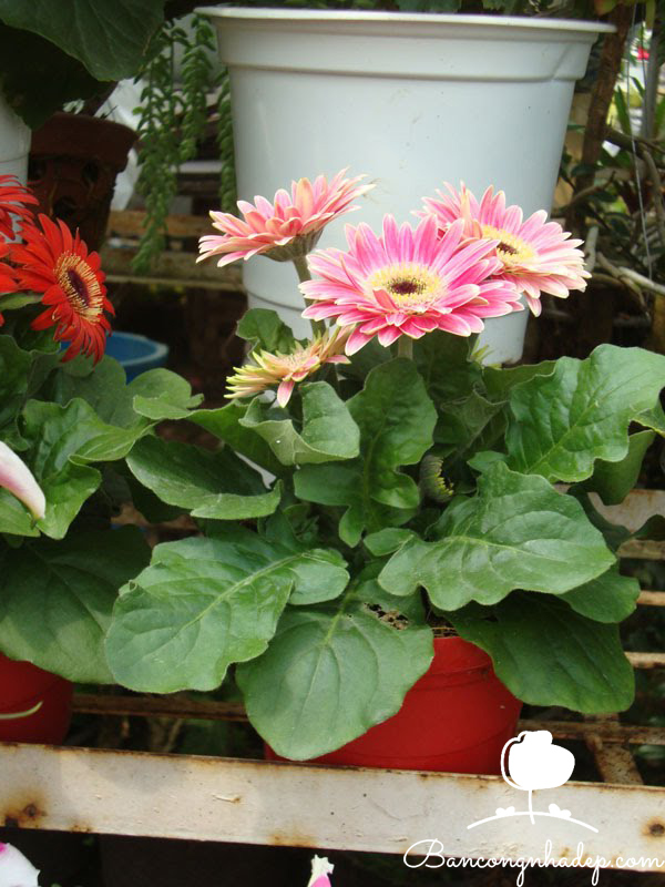 hoa dễ trồng trong chậu