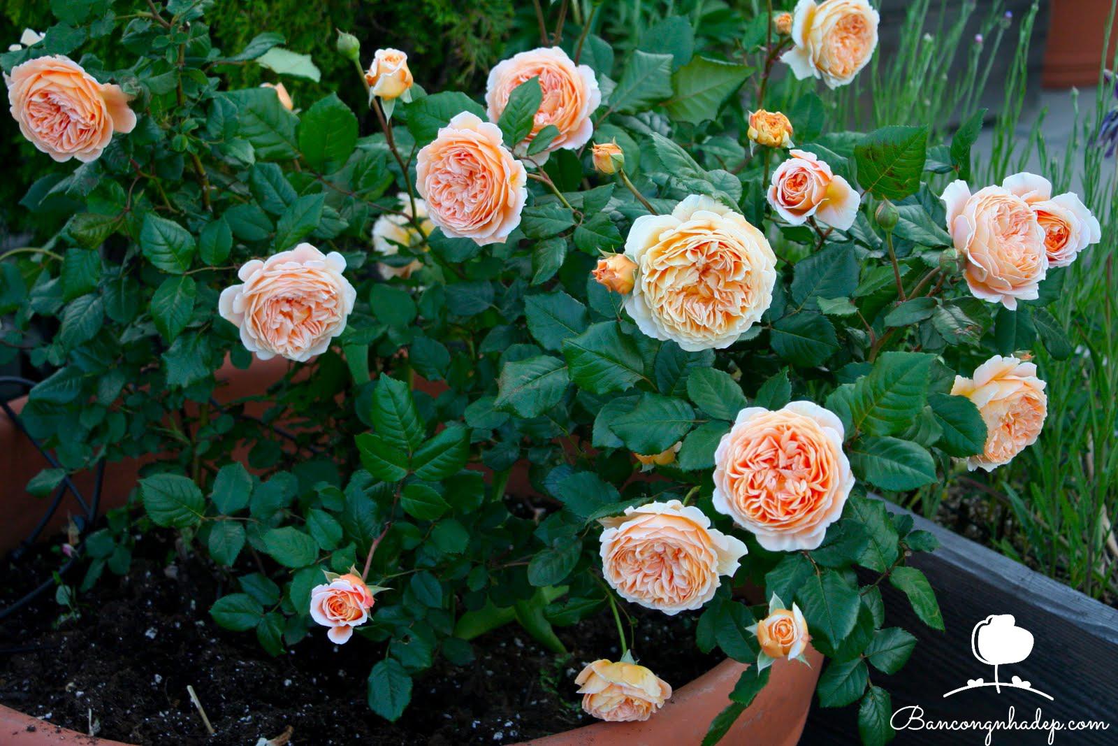 Các loại hoa dễ trồng hoa hồng