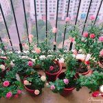 Các loại hoa dễ trồng trong chậu