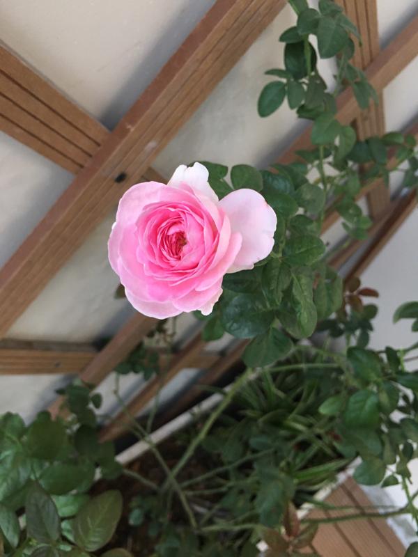 ban công đẹp hoa hồng