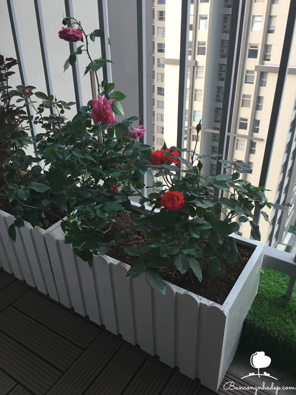 ban công đẹp trồng hoa hồng
